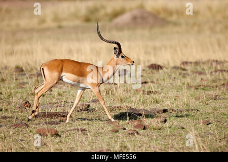 Male impala running; Aepycetos melampus, Masai Mara, Kenya. - Stock Photo