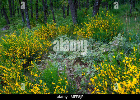 Pyrenean Oak forest and Common Broom, Sierra de Guadarrama, Madrid, Spain, Europe - Stock Photo