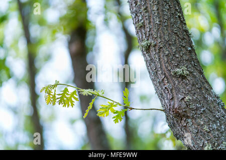 Pyrenean Oak forest, Sierra de Guadarrama, Madrid, Spain, Europe - Stock Photo