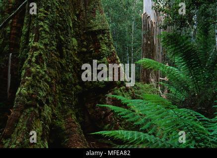 SWAMP GUM in rainforest Eucalyptus regnans Mt Field National Park, Tasmania,  Australia. World's tallest flowering plant. - Stock Photo