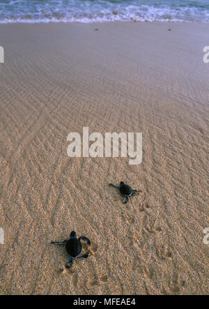 GREEN TURTLE  Chelonia mydas hatchlings dashing for the sea Ascension Island, Atlantic Ocean - Stock Photo