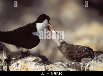 SOOTY TERN  Sterna fuscata adult feeding chick large fish Ascension Island, Atlantic Ocean - Stock Photo