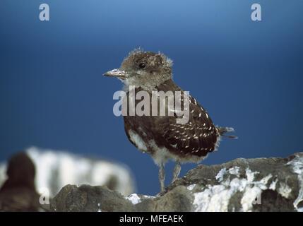 SOOTY TERN  chick Sterna fuscata Ascension Island, Atlantic Ocean - Stock Photo