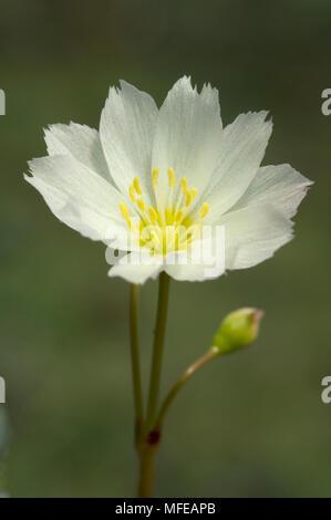 LEWISIA OPPOSITIFOLIA flower Illinois Wild & Scenic River Siskiyou Mountains, Southern Oregon - Stock Photo