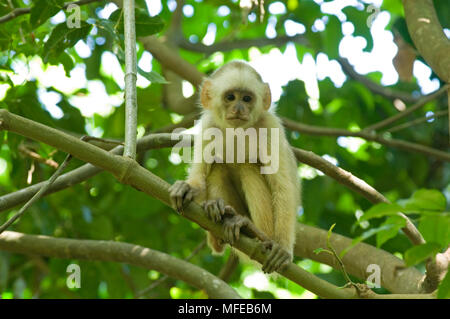 WEEPING CAPUCHIN MONKEY young Cebus olivaceous Nariva swamp, Trinidad. - Stock Photo