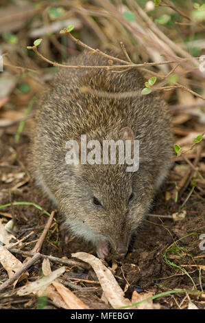 LONG-NOSED POTOROO, Potorous tridactylus, Australia - Stock Photo
