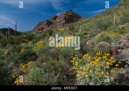 CHOLLA CACTUS    April with Brittlebush in flower on slopes of  Ajo Mountains  Organ Pipe Cactus  National Monument, Arizona, SW USA - Stock Photo