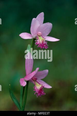 ROSE POGONIA ORCHID  flowers  Pogonia ophioglossoides in tamarack bog  Michigan, USA