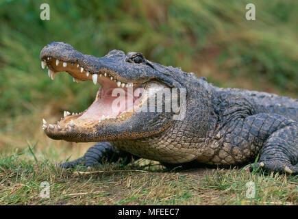 AMERICAN ALLIGATOR  Alligator mississipiensis  gaping - Stock Photo