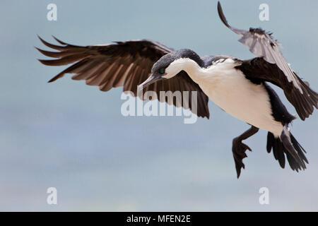 Black-faced Cormorant (Phalacrocorax fuscescens), Fam. Phalacrocoracidae, Kangaroo Island, South Australia, Australia - Stock Photo