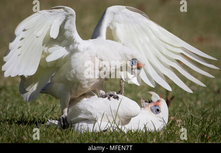 Little Corella (Cacatua sanguinea), Fam. Psittacidae, Two individuals play-fighting, Armidale, New South Wales, Australia - Stock Photo