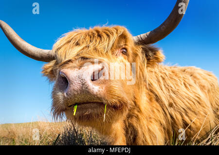 Highland cow / cattle grazing on moorland - Stock Photo
