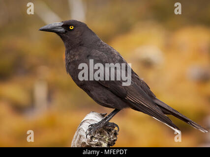 Black Currawong (Strepera graculina), Fam. Artamidae, Cradle Mountain Lake St Clair National Park, Tasmania, Australia - Stock Photo