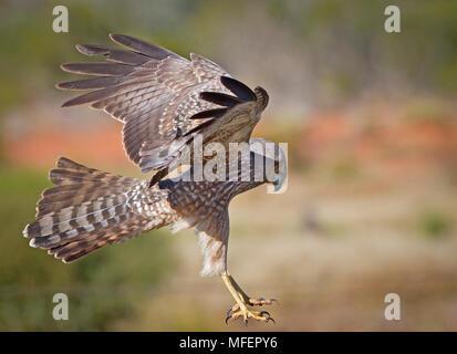 Spotted Harrier (Circus assimilis), Fam. Accipitridae, Mulyangarie Station, South Australia, Australia - Stock Photo