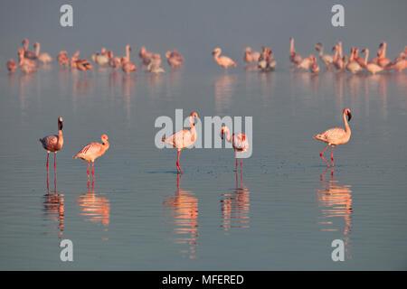 Lesser flamingos; Lake Nakuru, Kenya - Stock Photo
