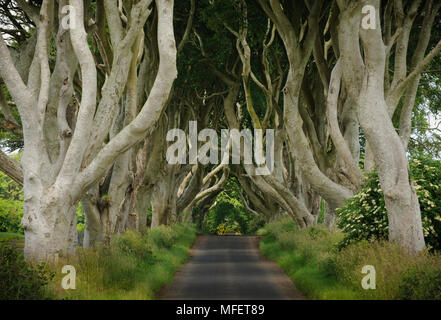 The Dark Hedges (old beech trees bordering narrow road), near Armoy; County Antrim, Northern Ireland. - Stock Photo