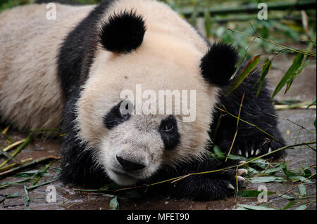 Giant panda, Ailuropoda melanoleuca; Bifengxia Panda Center, Sichuan Province, China. - Stock Photo
