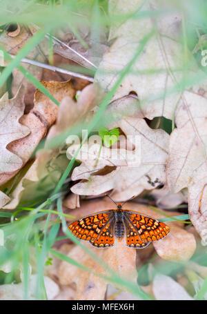 Butterfly, Sierra de Guadarrama, Madrid, Spain, Europe - Stock Photo