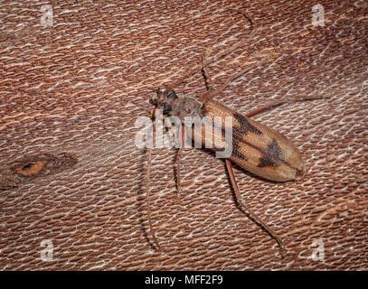 Bullseye Borer (Phoracantha acanthocera). Fam. Cerambycidae (Longicorn Beetles), Subfam. Cerambycinae, Larvae bore into Eucalypts and are considered a - Stock Photo