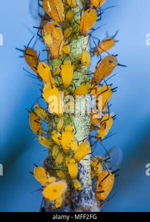 Milkweed Aphids (Aphis nerii),   Fam. Aphididae, feeding on Narrow-Leaf Cotton Bush, Guy Fawkes National Park, New South Wales, Australia - Stock Photo