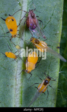 Milkweed Aphids (Aphis nerii),   Fam. Aphididae, feeding on Narrow-Leaf Cotton Bush, Dark-brown individuals are parasitised by wasps, Guy Fawkes Natio - Stock Photo