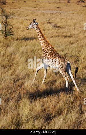 Southern Giraffe (Giraffa camelopardalis)  over the Okavango Delta. Characterized by two knobs, called ossicones, on their head and unlike most mammal - Stock Photo