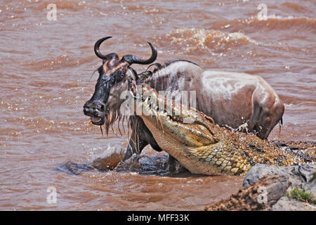 Nile Crocodile (Crocodylus niloticus) Catching Blue Wildebeest (Connochaetes taurinus). In the early stage of the migration as wildebeest cross the Ma - Stock Photo