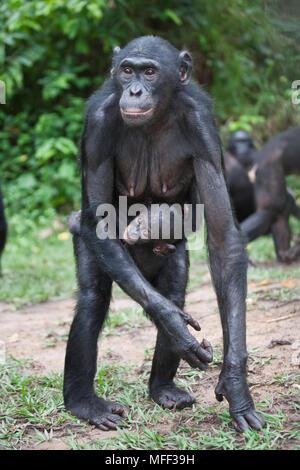 Bonobo/Pygmy chimpanzee (Pan paniscus) mother and young, Sanctuary Lola Ya Bonobo Chimpanzee, Democratic Republic of the Congo. Captive - Stock Photo