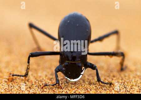 The Namib Desert beetle (genus Stenocara)  lives in one of the most arid areas with only one and half inch (40 mm) of rain per year, and has developed - Stock Photo