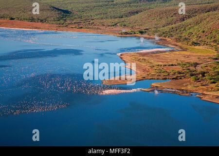 Aerial view of Lesser Flamingo (Phoenicopterus minor) flying over Lake Bogoria, Rift Valley. Kenya. - Stock Photo