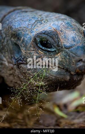 Giant tortoise (Geochelone gigantea). Vulnerable species. Seychelles Cousin Island. Dist. Seychelles islands. - Stock Photo