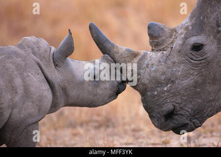 Baby White Rhinoceros and mother  (Ceratotherium simum). South Africa - Stock Photo