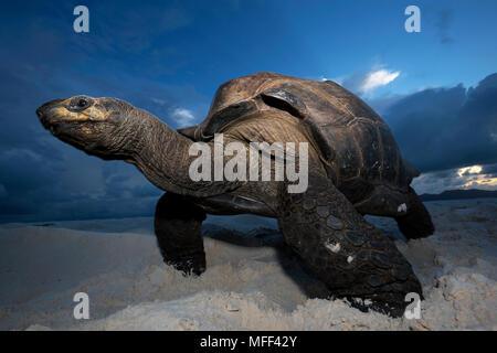 Giant tortoise (Geochelone gigantea) on beach.Seychelles - Stock Photo