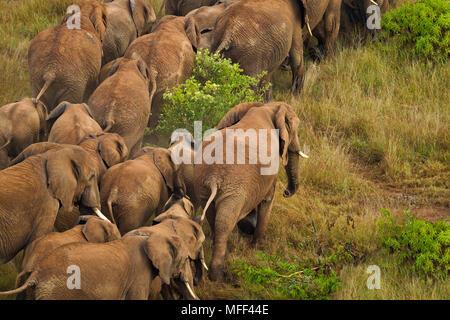 Aerial view of African elephant (Loxodonta africana) in Kenya. Dist. Sub-Saharan Africa. - Stock Photo