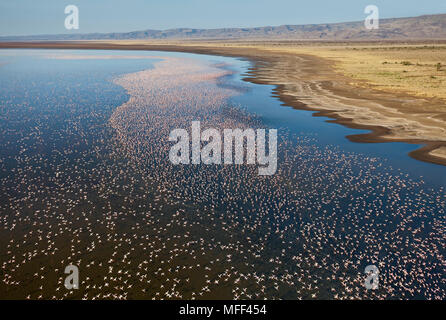 Aerial view of Lesser Flamingo (Phoenicopterus minor ) flying over Lake Logipi, Kenya. - Stock Photo