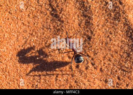 Namib desert dune ant (Camponotus detritus) Namibia - Stock Photo