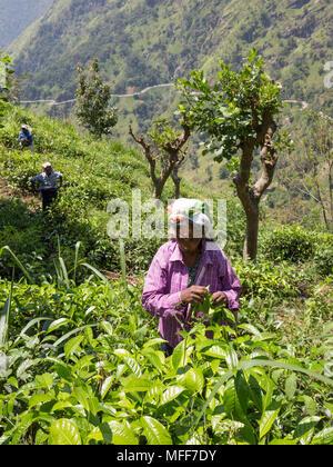 Women picking tea leaves in tea plantation, Ella, Badulla District, Uva Province, Sri Lanka, Asia. - Stock Photo
