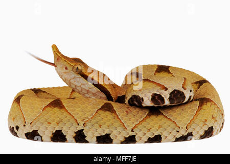 HUNDRED-PACE or SHARP-NOSED VIPER Deinagkistrodon acutus coiled against a white background.  From China and Vietnam. - Stock Photo