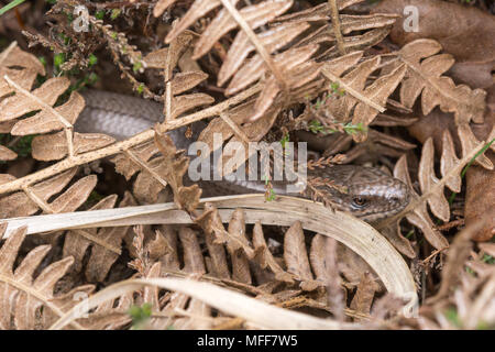 Male slow-worm (Anguis fragilis) basking among dead bracken, UK. Reptile behaviour. - Stock Photo