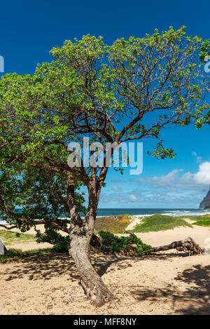 a single tree at barking sands beach kauai hawaii - Stock Photo