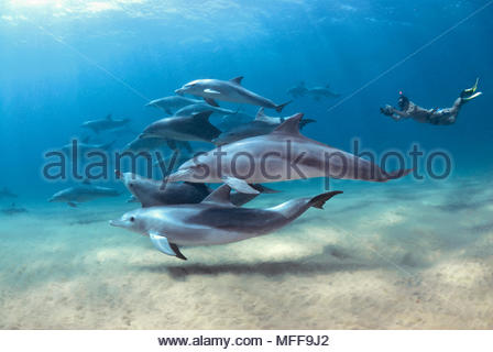 Bottlenose dolphin (Tursiops truncatus), pod of dolphins and snorkeler, Sodwana Bay, South Africa - Stock Photo