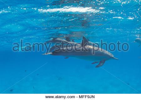 Grosser Tuemmler (Tursiops truncatus) und Schnorchler, Marsa Alam, Aegypten | Bottlenose dolphin (Tursiops truncatus) and snorkeler, Marsa Alam, Egypt - Stock Photo