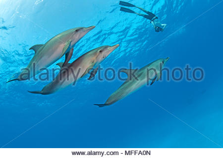 Snorkeler and Atlantic spotted dolphins (Stenella frontalis), Grand Bahama, Bahamas - Stock Photo