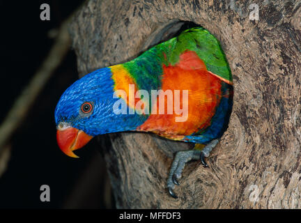 RAINBOW LORIKEET at nest hole Trichoglossus haematodus  in tree. Australia - Stock Photo