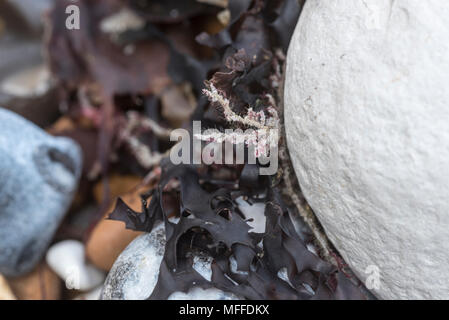 Hairy Seamat (Electra pilosa) on a chalk pebble - Stock Photo