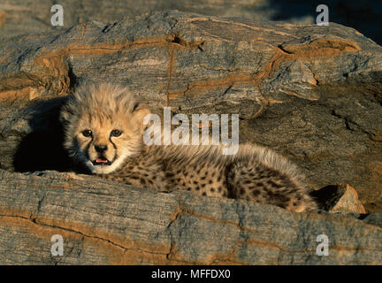 CHEETAH  Acinonyx jubatus  young cub in rock crevice,  hidden by mother for protection - Stock Photo