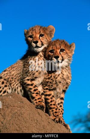 CHEETAH Acinonyx jubatus  Six week old cubs - Stock Photo