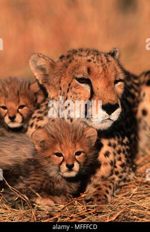 CHEETAH Acinonyx jubatus  Six week old cubs with mother - Stock Photo