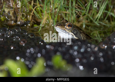 Common Frog, Rana temporaria, male waiting for more females. spawn, frogs' spawn, in garden pond. UK - Stock Photo