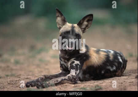 AFRICAN WILD or CAPE HUNTING DOG Lycaon pictus Hwange National Park, Zimbabwe - Stock Photo